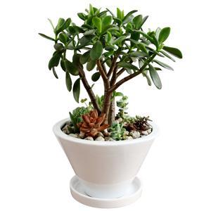 人気観葉植物金のなる木