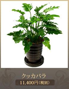"""移転祝い観葉植物7,000円"""""""