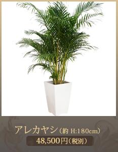 開業祝いに観葉植物15,000円