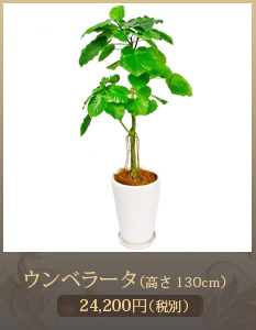 事務所開設祝いに観葉植物15,000円