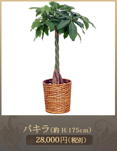 新社屋落成(新築・竣工)祝いに観葉植物20,000円