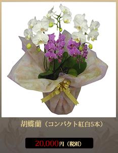 """開店祝い(新装開店)こちょうらん18,000円"""""""