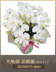 移転祝い胡蝶蘭20,000円