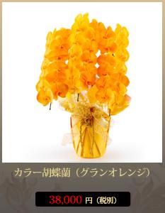楽屋祝いカラー胡蝶蘭(グラン